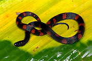Colombian Earth snake, Geophis brachcephalus, in rainforest, Costa Rica, black and red non-venomous snake