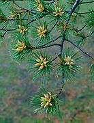 Lodgepole Pinein Spring,Yosemite National Park, California