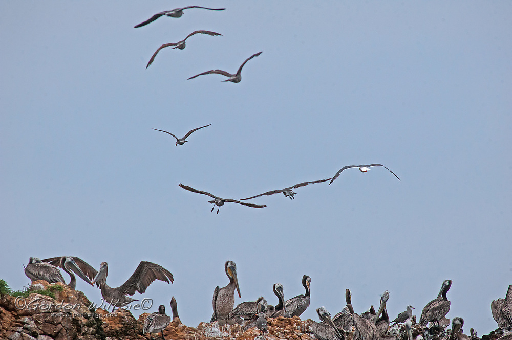 Gulls fly over brown pelicans perching on a rock along the Pacific Ocean coast near Pescadero, California.
