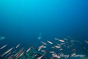 bluefin trevally, Caranx melampygus, hunt schooling fusiliers, banana fusilier or ruddy fusilier, Pterocaesio pisang , Monad Shoal, off Malapascua, Cebu, Philippines  ( Visayan Sea, Western Pacific Ocean )