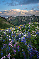 Lupine wildflowers blooming among other high mountain wildflowers in Utah's Little Cottonwood Canyon during a Summer sunrise.