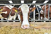 Nederland, Overasselt, 1-10-2019De koeien in de stal. Koeienstal . FOTO: FLIP FRANSSEN