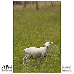 Sheep in a paddock at Somes Island, Wellington, New Zealand.<br />