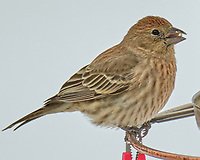 House Finch (Haemorhous mexicanus). Image taken with a Fuji X-H1 camera and 100-400 mm OIS lens.