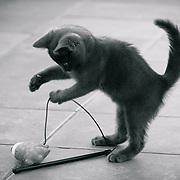 Grey kitten (british blue) playing.