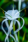 Fine Art<br /> <br /> Macro of Spider Lily flower with green background