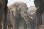 Thirsty elephants (Loxodonta africana)  during a drought at water hole to drink,Savuti, Botswana