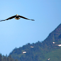 North America, USA, Alaska. American Bald Eagle in flight.