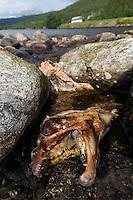 Atlantic Salmon, Salmo salar<br /> River Orkla, Rennebu, Norway