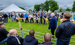Biggar, South Lanarkshire, Scotland 23 July 2016<br /> <br /> Judging Texel sheep in the show ring.<br /> <br /> (c) Andrew Wilson | Edinburgh Elite media