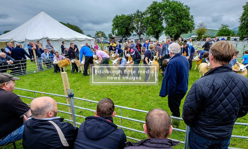 Biggar, South Lanarkshire, Scotland 23 July 2016<br /> <br /> Judging Texel sheep in the show ring.<br /> <br /> (c) Andrew Wilson | Edinburgh Elite media