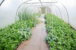Trinity Organic Farm, Nottinghamshire - polyunnel full of vegetable crops