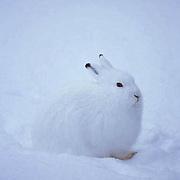 Arctic Hare, (Lepus arcticus) In winter white camouflage. Canada.