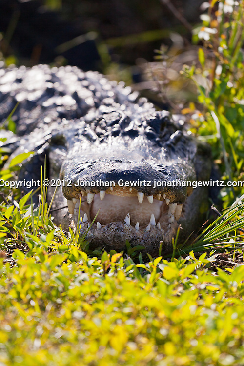 An American alligator (Alligator mississippiensis) facing the camera with its mouth open in Everglades National Park, Florida. WATERMARKS WILL NOT APPEAR ON PRINTS OR LICENSED IMAGES.
