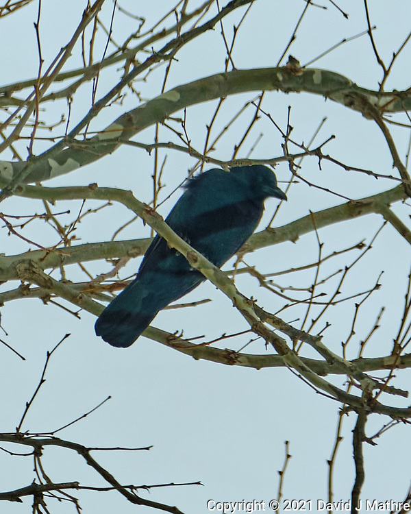 American Crow (Corvus brachyrhynchos). Image taken with a Fuji X-H1 camera and 100-400 mm OIS lens.