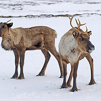 North of the Arctic Circle in Russia, domesticated reindeer stand in snow on the tundra.  Each animal has recently dropped one antler and the next will fall shortly - an annual occurence.