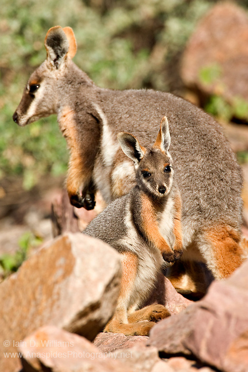 Yellow Footed Rock Wallaby (Petrogale xanthopus) - Australia