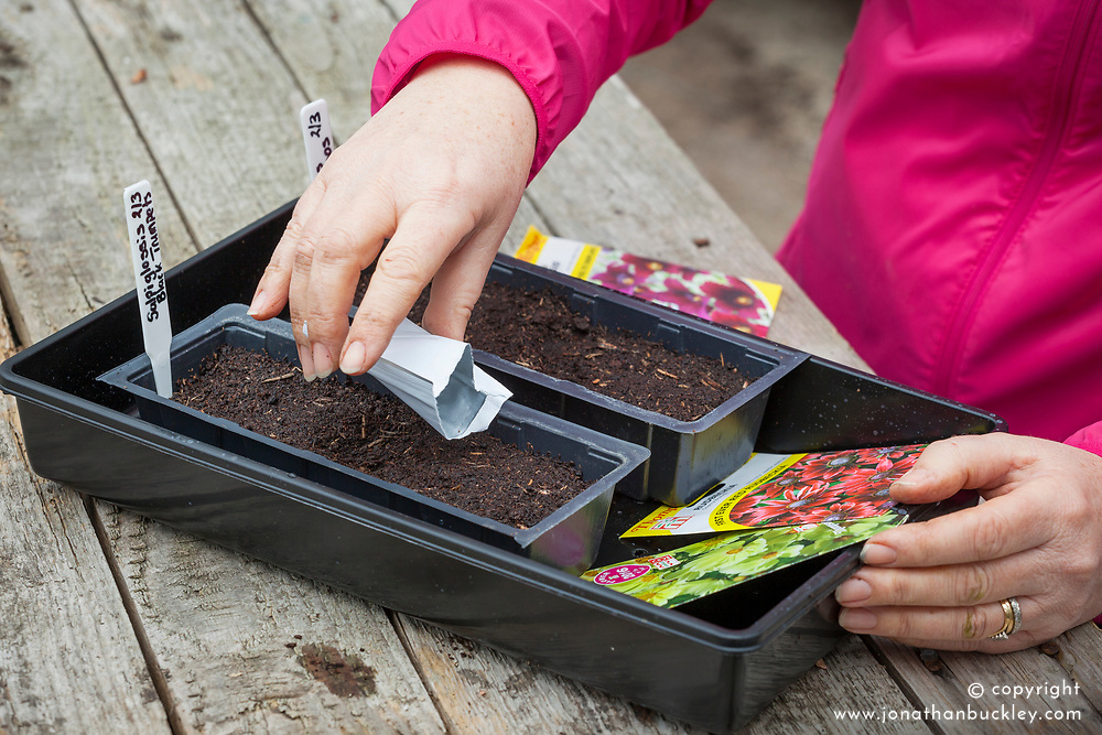 Sowing half hardy annuals in plastic trays in the greenhouse - Salpiglossis sinuata