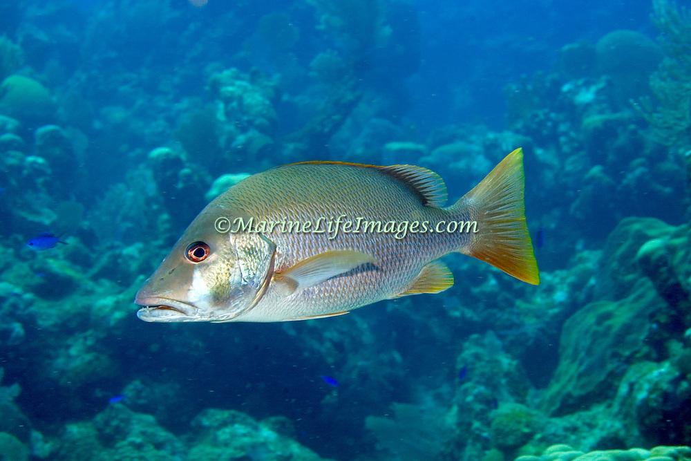 Dog Snapper inhabit mid-range reefs, in Tropical West Atlantic; picture taken Roatan, Honduras.