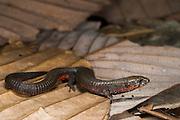 Unicolored Riama (Riama unicolor)<br /> CAPTIVE<br /> Central/ north Andean slopes ECUADOR. South America<br /> RANGE: Ecuador, Colombia