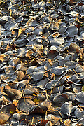Frost Covered Dry Aspen Leaves lying on the Ground After a Snowstorm