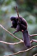 Parauapebas_PA, Brasil...Primata conhecido como cuxiu preto (Chiropotes satanas satanas) na Floresta Nacional de Carajas, Para...Primate known as black cuxiu / bearded saki (Chiropotes satanas satanas) in the Carajas National Forest, Para...Foto: JOAO MARCOS ROSA / NITRO