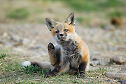 Red fox pup in Wyoming