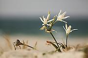 Pancratium maritimum, or Sea Daffodil, is a species of Amaryllidaceae native to the Mediterranean region