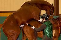 Breeding thoroughbred horses (Speightstown (stallion) and Sky High Flyer (mare)), Winstar Farm (thoroughbred horse farm), Versailles (near Lexington), Kentucky USA