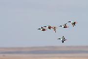Shovellers in flight