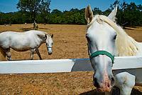 Slovenoia, Lipica, chevaux Lipizans // Slovenia, Lipica, Lipizaner horses in the world famous Lipizaner horses farm