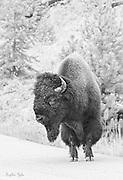 Yellowstone Bison B & W