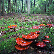 Red mushrooms at Reeds Gap State Park