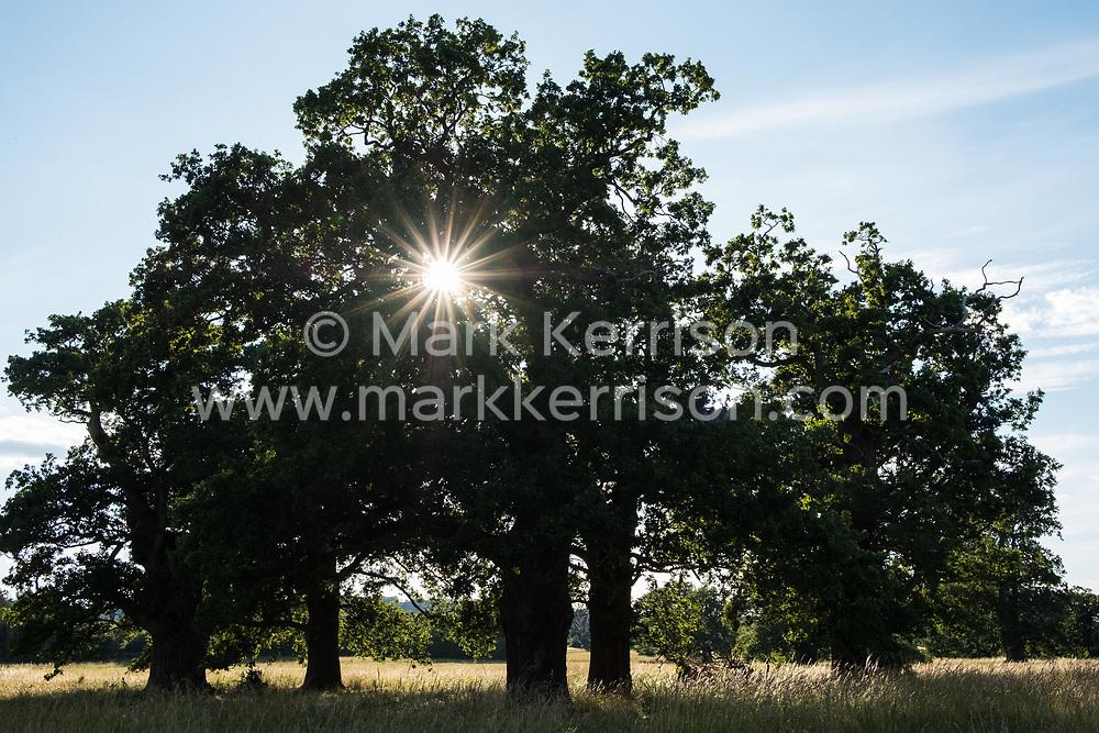 Windsor, UK. 12 July, 2020. Evening sunshine seen through oak trees in Windsor Great Park.