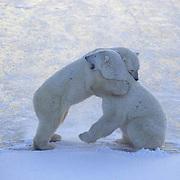 "Polar Bear, (Ursus maritimus) """"Hugging"""". Hudson Bay. Churchill, Manitoba. Canada."