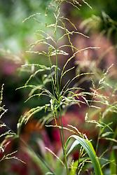 Phaenosperma globosa - Waterfall millet
