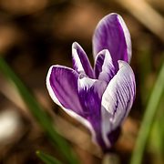 Trollhättan 170328 <br /> Krokus<br /> Latinskt namn Crocus<br /> Krokussläktet är ett släkte i familjen irisväxter<br /> <br /> ----<br /> FOTO : JOACHIM NYWALL KOD 0708840825_1<br /> COPYRIGHT JOACHIM NYWALL<br /> <br /> ***BETALBILD***<br /> Redovisas till <br /> NYWALL MEDIA AB<br /> Strandgatan 30<br /> 461 31 Trollhättan<br /> Prislista enl BLF , om inget annat avtalas.