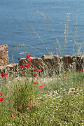 Close up of poppy flowers and sea, Scandola Nature Reserve, Corsica, France