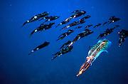 UNDERWATER MARINE LIFE WEST PACIFIC, generic reef squid Loligo sp.