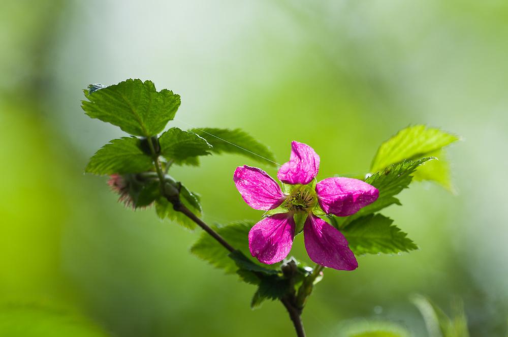 Salmonberry flower (Rubus spectabilis), April, lowland forest, Olympic Peninsula, WA