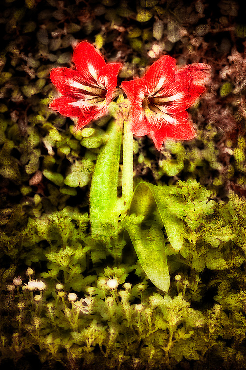 Amaryllis photographed as highly textured and distressed art.