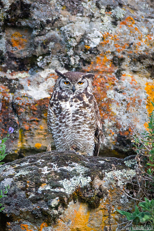 An eagle-owl well camouflaged against a cliff.