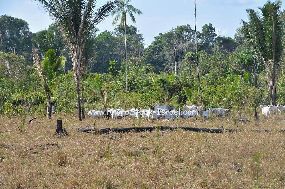 Cattle farming in plots of cleared land in the Brazilian Rainforest. The ongoing deforestation causes earth erosion and has a negative impact on global worming
