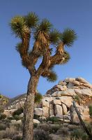 Joshua Tree (Yucca brevifolia), Joshua Tree National Park