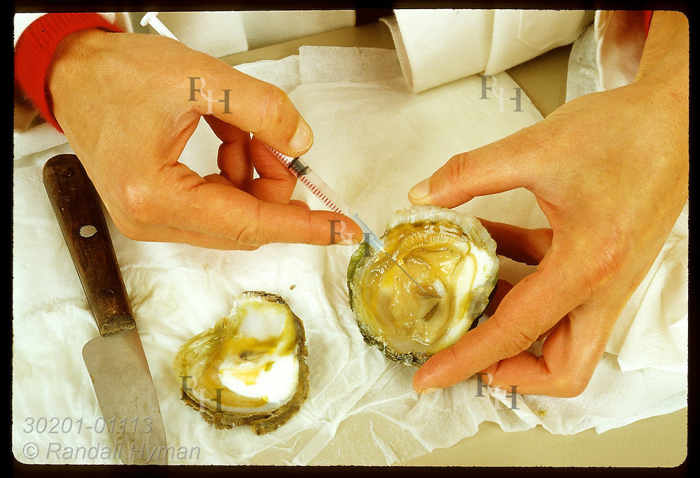 Biologist Dominique Chagot -IFREMER-draws blood sample from flat oyster infected with Bonamia. France
