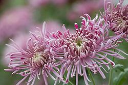 Chrysanthemum 'Streamer'