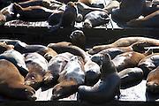 Sea Lions at Pier 39, San Francisco, California