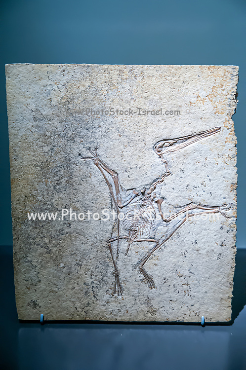 Well preserved Fossil of a Pterodactylus kochi. Pterosaurs are flying reptiles that existed at the same time as the dinosaurs. This one is a pterodactyl classified as Pterodactylus kochi. Fossils appear as rock slowly forms around objects buried in mud. As the rock forms, the shape and anatomy of buried animals and plants can be preserved. Here, the bones of the skeleton are clearly seen, with the head at top, the feet at bottom, and with the wings folded. Pterodactylus fossils are mainly found in Germany, dating to 150 to 148 million years ago, during the late Jurassic Period. Photographed at the Natural History Museum, Vienna, Austria