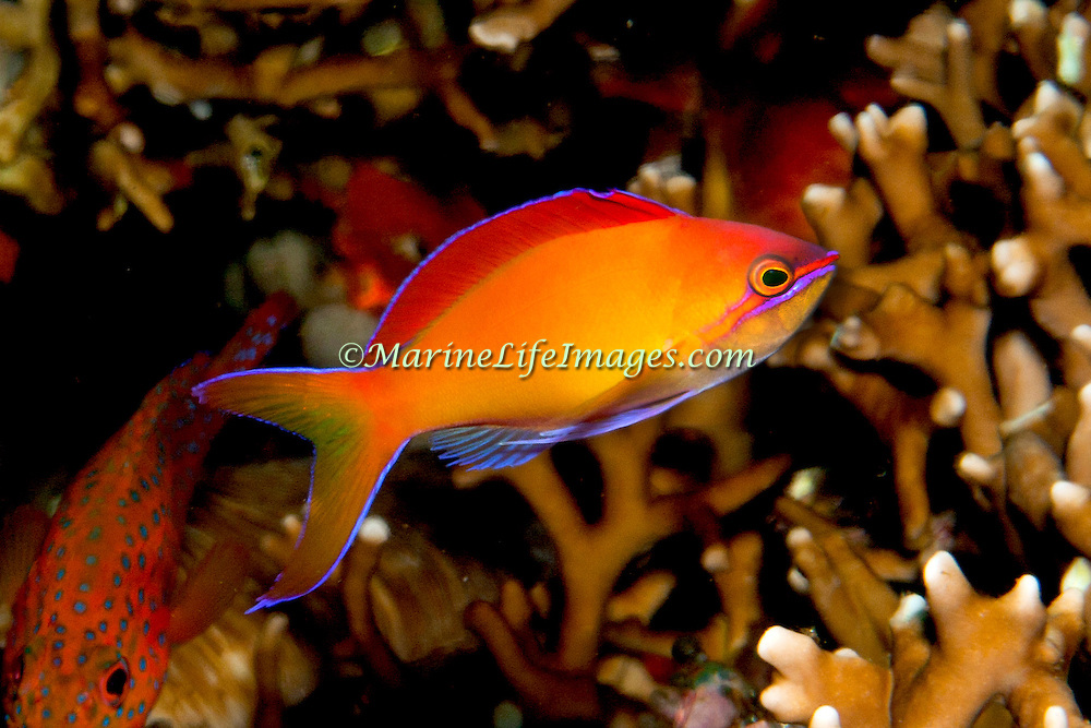 Redfin Anthias inhabit reefs often along the upper edge of steep slopes. Picture taken Bali, Indonesiai.