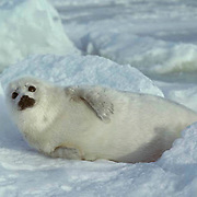 Harp Seal, (Pagophilus groenlandicus) Pup on ice pack often called a white coat. Spring. Nova Scotia. Canada.